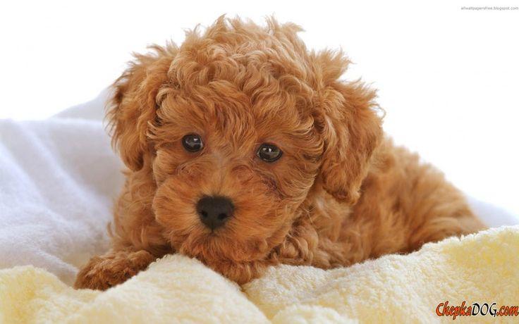 Charmante photo de chien roux