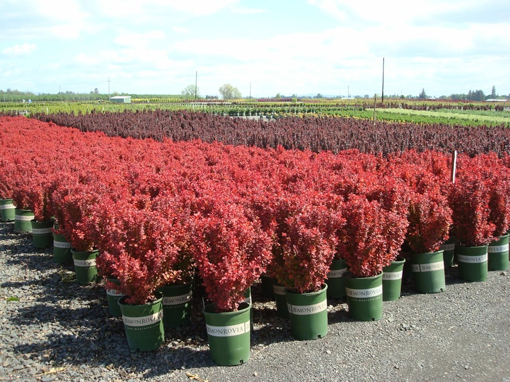 Orange Rocket Barberry, look at that color! Monrovia Nursery find at you local garden center.