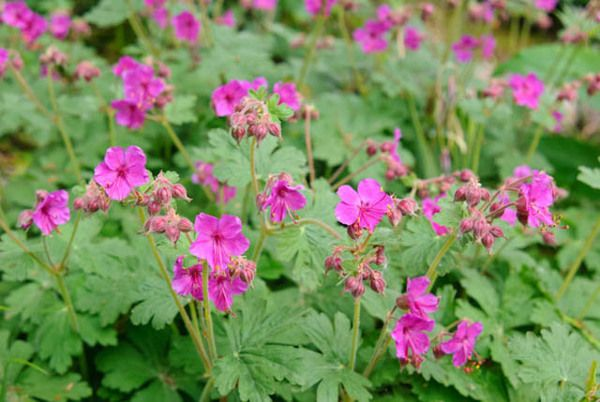 Very fragrant, adaptable and beautiful, Geranium Macrorrhizum 'Czakor' (Cranesbill) makes lovely, semi-evergreen groundcover in the garden. This hardy geranium creates a thick mat of fragrant, rounded, light green leaves, topped with abundant clusters of magenta flowers in late spring to early summer