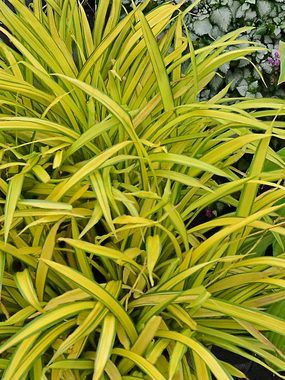 66 best images about zones 5 6 perennials on pinterest for Short growing ornamental grasses