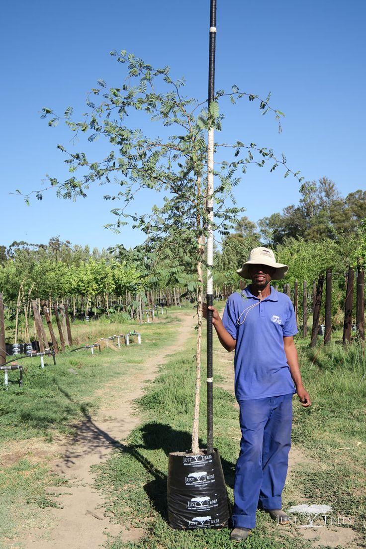 40L - Acacia galpinii (Monkey Thorn)