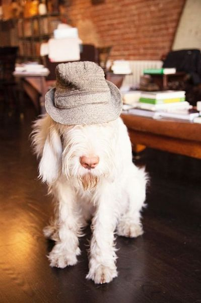 This has to be a PBGV. My fave dog breed ever.