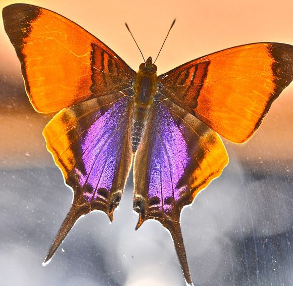 Purple-stained Daggerwing (Marpesia marcella)