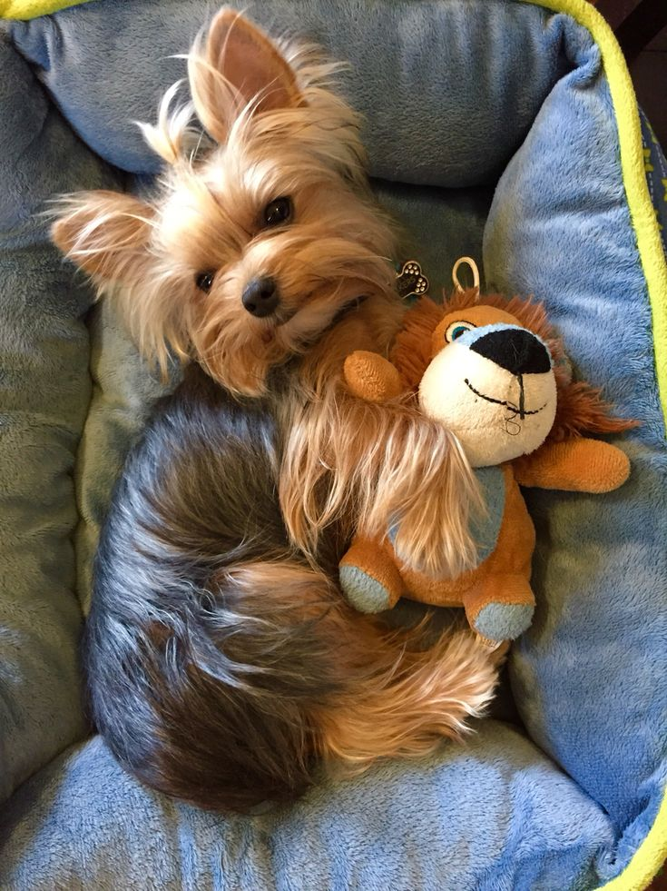 2015 Best Images About Cute Yorkies