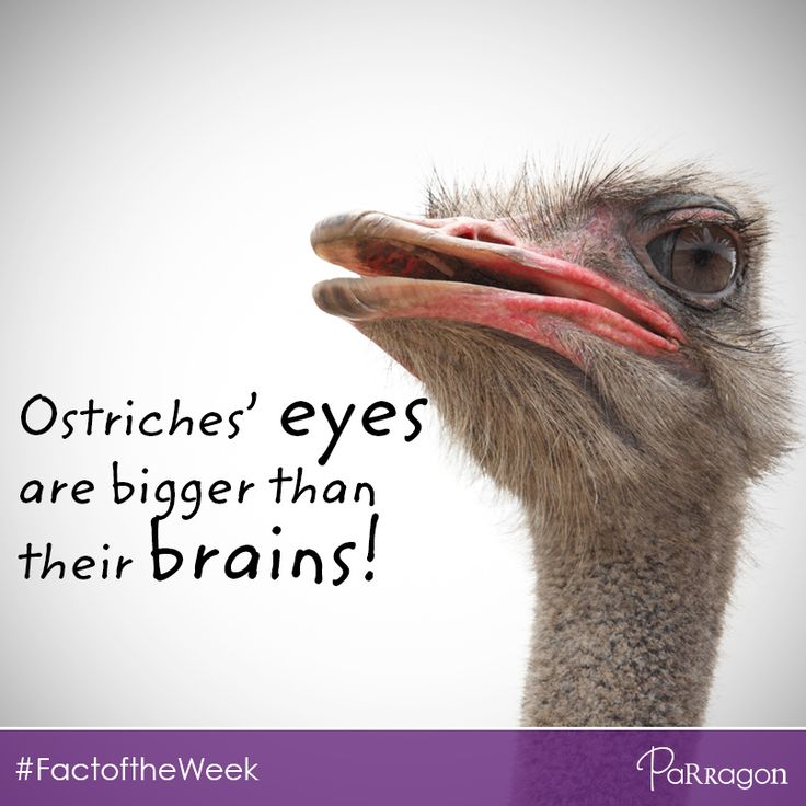Did you know that Ostriches' eyes are bigger than their brains! #FactoftheWeek #RandomFact #trivia