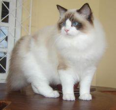 Beautiful Ragdoll Kitty Cats Ragdoll Cats Beautiful Cats Ragdoll Kitty Blue Eyes Rag Doll Persian Cat Cat Breeds