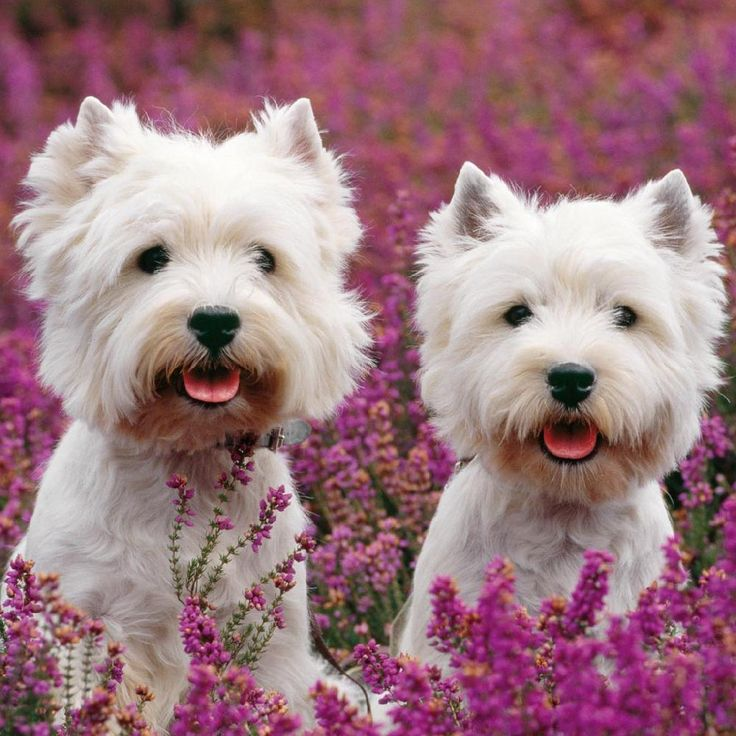 Westies - West Highland White Terrier