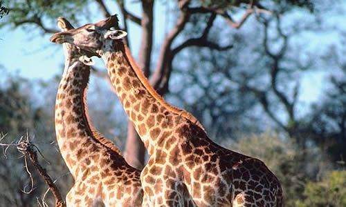 Interesting facts about Giraffe behaviour.The results of the research on thebehaviour of the giraffe. Tiger facts – Interesting facts about tiger Female giraffes associate in groups of a dozen or …