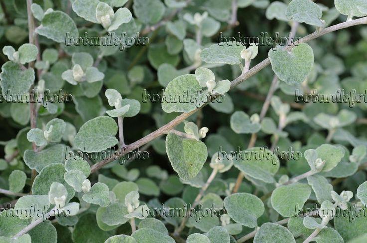 Bild Silberblatt Helichrysum Petiolare 476162 Bilder Und Videos