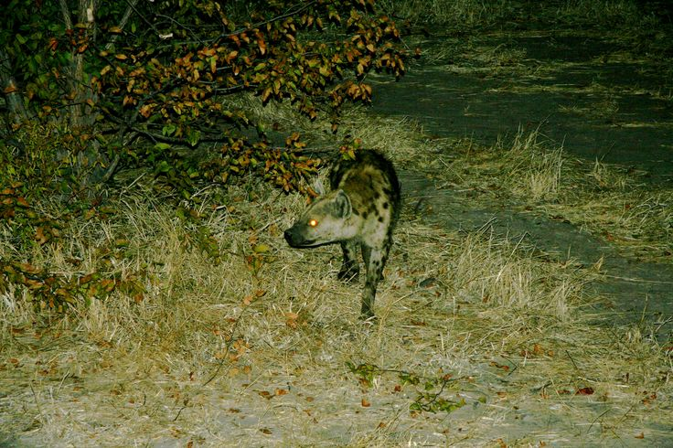 Hyenas visiting us in the night as we camp in the bush.