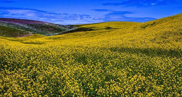 Hills of Canola