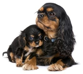 Cavalier King Charles Spaniel - mom with pup