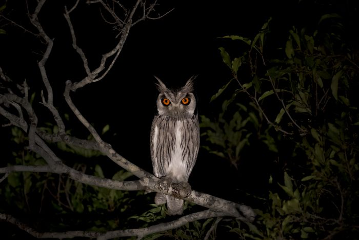 A Southern White-faced Owl perches next to the road, allowing us this special moment to view it so clearly. These birds are only about 27cm tall but can catch small mammals and birds such as Laughing Doves, which are almost the same size as them. Photograph by Amy Attenborough