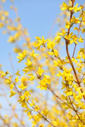 Celebrate the spring with the bright yellow blooms of the forsythia plant! It is one of the first plants to bloom in the spring! #spring #flowers
