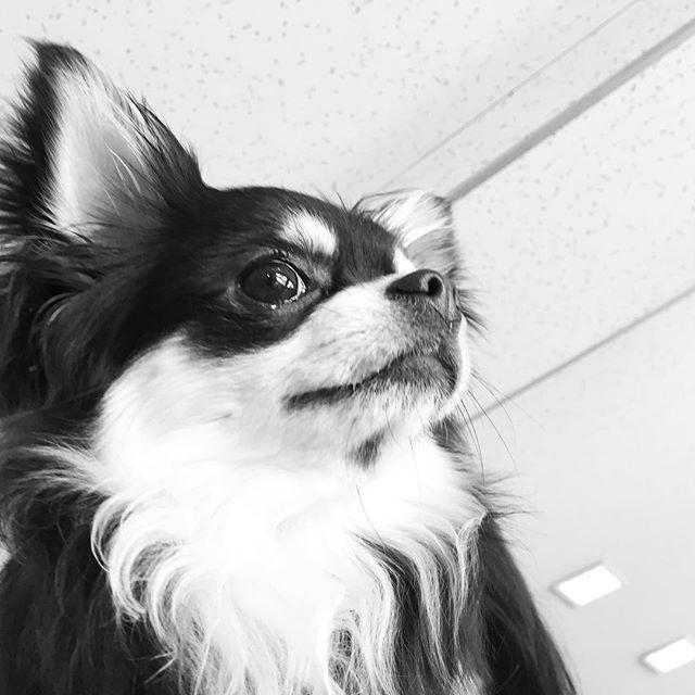 下からのアングル、ソラくん♡  #dogcafek3  #dogcafe #dogcafekyoto  #ドッグカフェ #ドッグカフェk3  #kyotocafe #京都ドッグカフェ  #京都ドッグカフェk3 #京都カフェ  #愛犬  #わんこ #カフェ  #cafe #看板犬 #愛犬  #いぬばか部 #愛犬と旅行  #京都旅行 #京都カフェ部  #ねこ #そうだ京都行こう  #コーヒー#coffee #コーヒータイム #ミックス犬 #チワワ