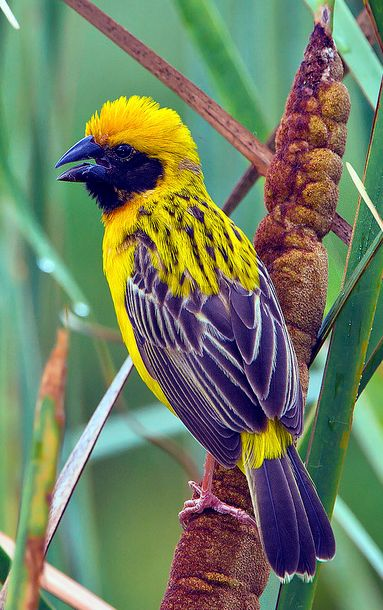 Asian Golden Weaver male ~ Ploceus hypoxanthus, by Gary Kinard