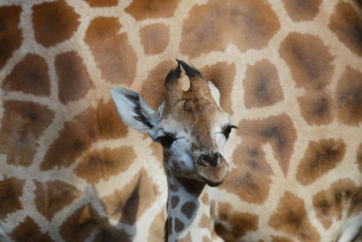 Un cucciolo di giraffa nello zoo di Praga (MICHAL CIZEK/AFP/Getty Images)
