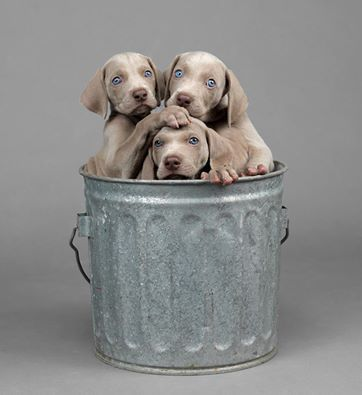 this is the cutest William Wegman Pic of baby weimies...