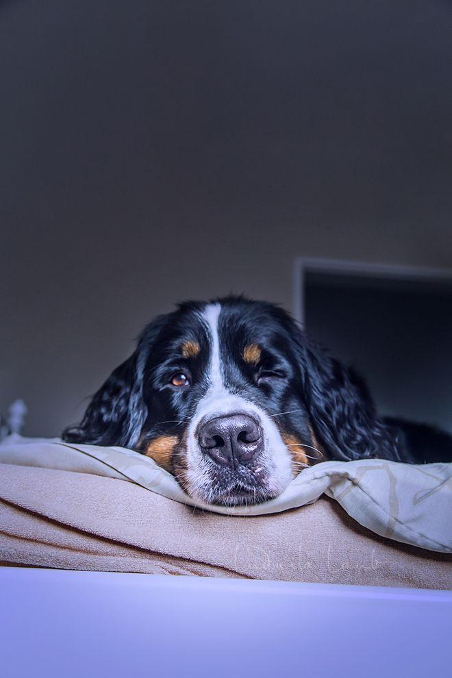 Sunny Von Bayern Sennenhund Hunde Entlebucher