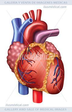 Ilustración Anatomía y fisiología del corazón. El corazón es el órgano muscular principal del aparato o ..