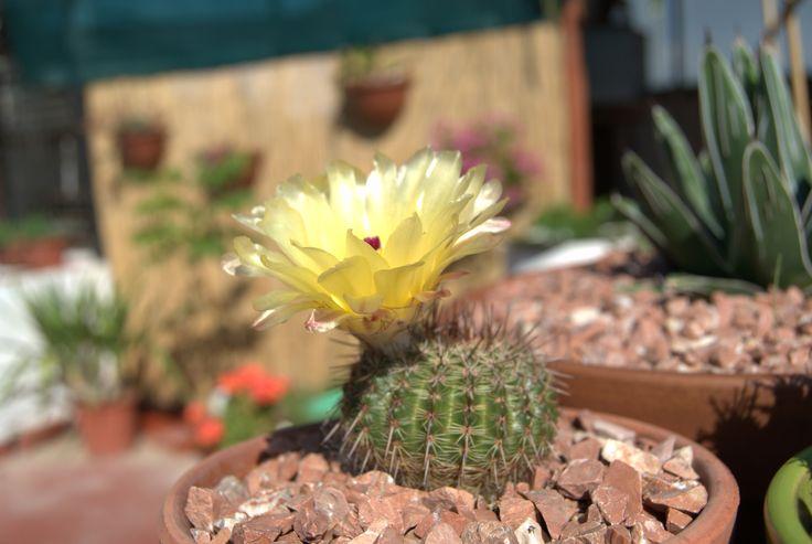 Notocactus submamuloso