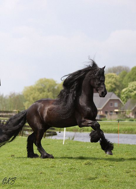 Frysk hynder. majestic black Friesian horse dressage show performace Andalusian