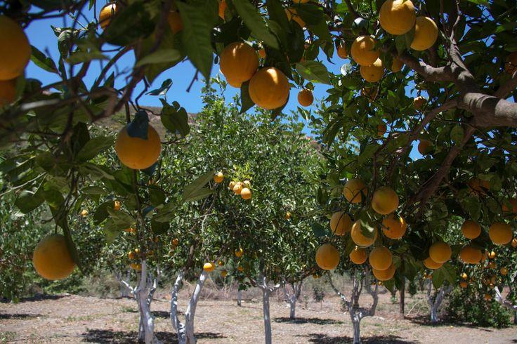Sinaasappel boomgaard