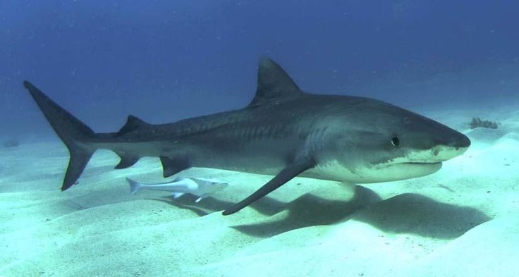 El Tiburón Tigre (Galeocerdo cuvier)  El tiburon tigre posee un cuerpo alargado, hocico corto, aleta dorsal por delante de la anal, dientes muy característicos con borde interno formando una amplia curva.