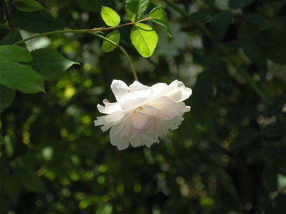 Rosa Felicite et Perpetue - mezz.ombra/esposizione nord - rampicante