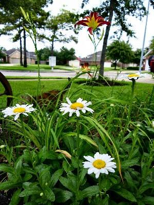 more daylillys: Daylilli, Daisies, Photography