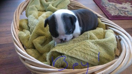 Litter of 5 American Boston Bull Terrier puppies for sale in STOCKTON, MO. ADN-64610 on PuppyFinder.com Gender: Male. Age: 3 Weeks Old