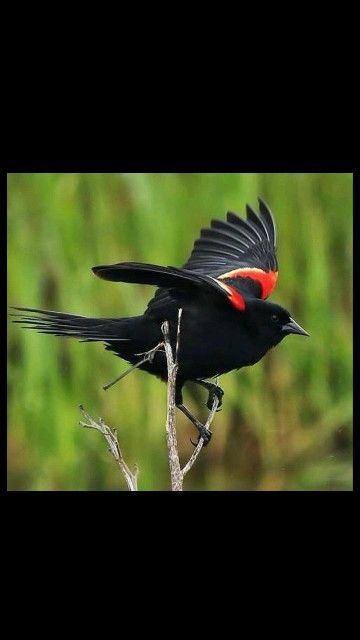 Red winged Blackbird-Kırmızı kanatlı Karatavuk