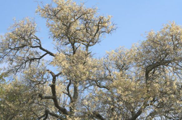 A large percentage of the trees in our area are acacias.  The knob thorn being one of them.  At this time of the year they stand out from the surrounding bush with their light yellow flowers.