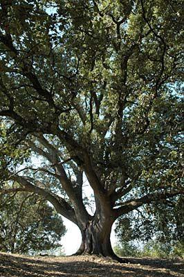 chêne vert de Valensole (Alpes de Haute-Provence), remarquable par sa taille, par son emplacement à la croisée des chemins et parce qu'il ombrage une ancienne aire de battage
