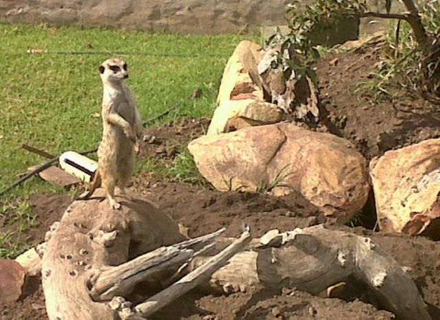 Meerkats are an important link in the food web. They provide food for predators. They also take many invertebrates, probably acting as a control on their own prey populations.