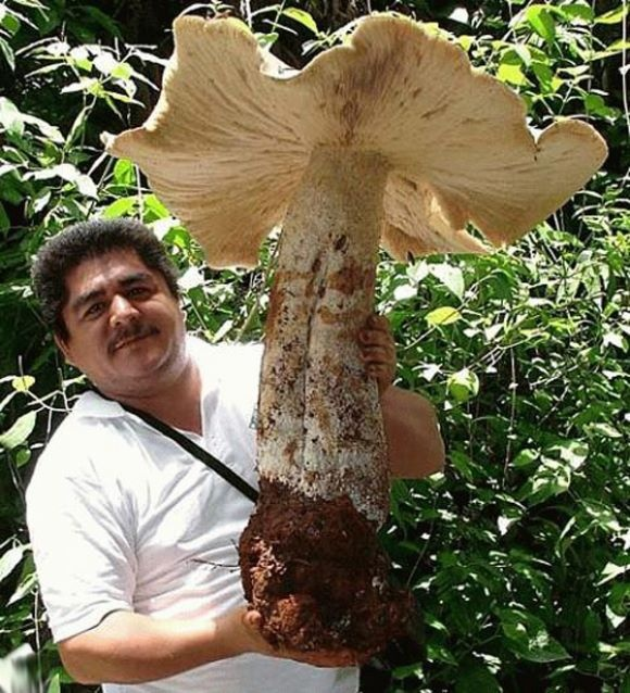 Giant Mushrooms.  Giant Mushroom weighing up to 20 kilograms *50 lb.... found growing on a coffee plantation in southern Mexico.