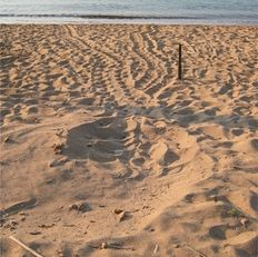The tracks of a sea turtle after she has come ashore   | check it out at wildlifesense.com