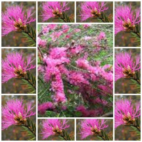 Melaleuca-wilsonii--Australian-Native-violet-honey-Myrtle-shrub