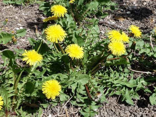 Les 25 meilleures id es de la cat gorie fleur jaune - Comment utiliser le purin d ortie ...