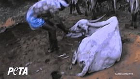 Dragging Indian Leather Cow 14 Things the Leather Industry Doesn't Want You to See