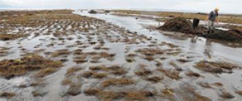"""Los peligros que enfrenta la milenaria alga """"Pelillo"""" en las costas de Chile.   http://www.explora.cl/noticias-nacionales/5005-los-peligros-que-enfrenta-la-milenaria-alga-pelillo-en-las-costas-de-chile"""