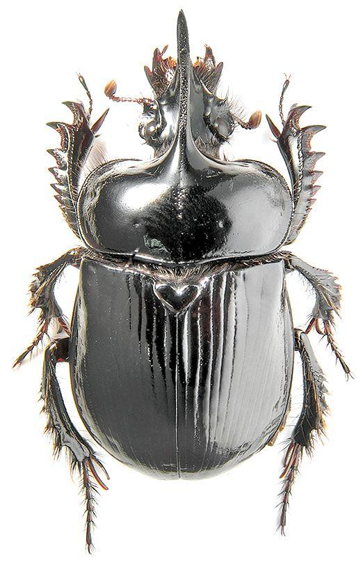 Ceratophyus polyceros Pallas, 1771