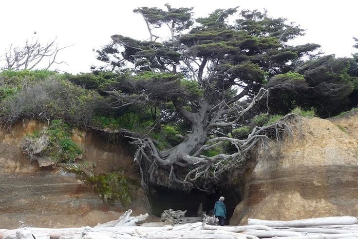 "Along the Olympic Peninsula, on a secluded beach in Kalaloch, WA there's a tree with no name. I call it ""Tree Root Cave."" (Real creative, I know.) This weird tree just won't quit, even after erosion took away the sand dune it was perched on, it's still hanging on for dear life."