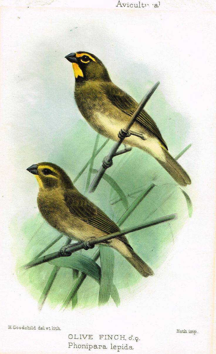 """Seth-Smith's Avicultural Magazine - Birds - """"OLIVE FINCH"""" - Chromolithograph - 1906"""