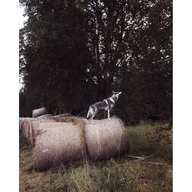 What can I say, she's like me. If you can climb it, let's go ;))) Seriously cannot get enough of these amazing mornings with her. www.travelwithmaya.com #travelwithmaya #hikingwithdogs #stayandwander #roamtheplanet #czechoslovakianwolfdog #lifeofadventure #adventurethatislife #camping #campingwithdogs #hiking #czechoslovakianwolfdog #lifeofadventure #adventurethatislife #wolfodg #dog #wolf