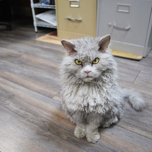 Selkirk Rex cats with sheep-like fur...this one also has an awesome angry face.  :o)