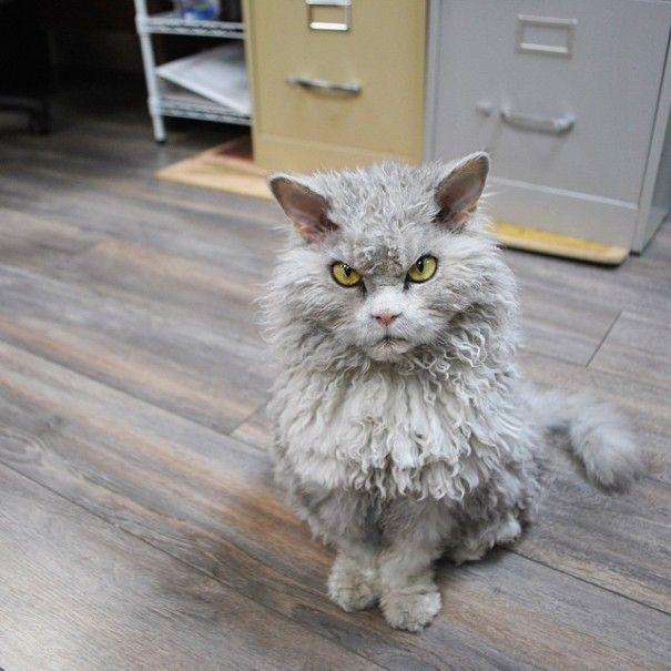 Gato con pelaje de oveja y muy mala leche