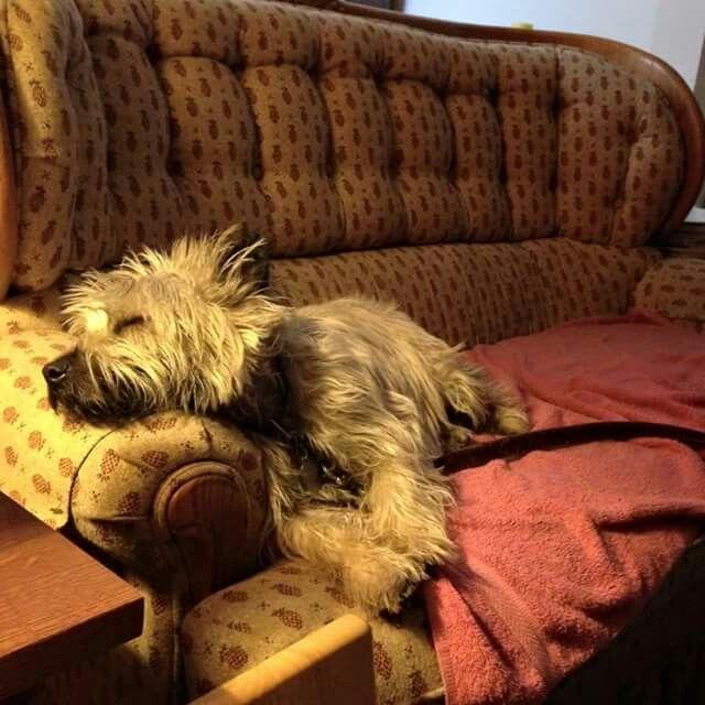 Cairn Terrier Fan Club on Facebook