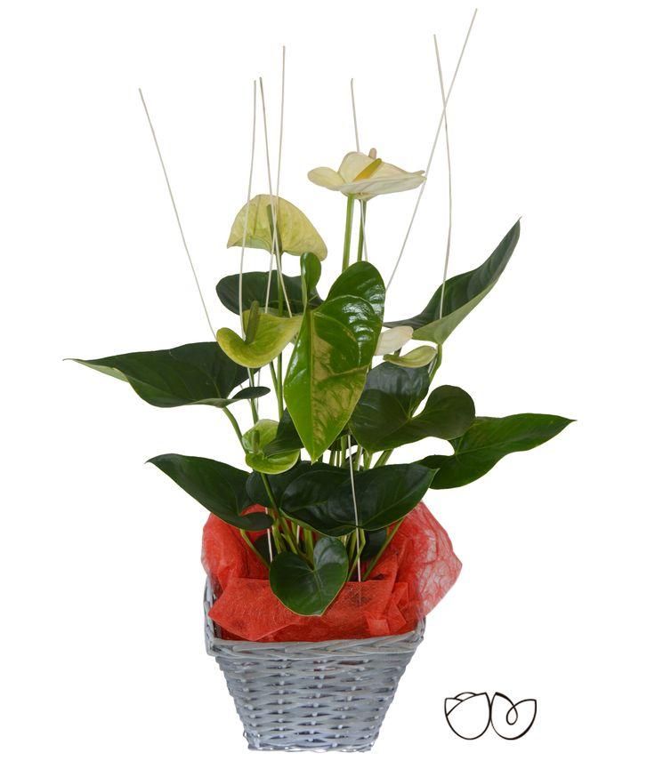 * Planta Anthurium * Con esta bonita planta decorativa de interior de Anthurium, llamativa por sus grandes hojas en forma de corazón, decolor blanco,puedes tener un detalle perfecto con una persona especial.
