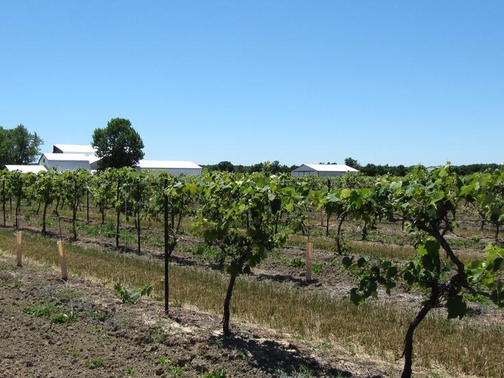 vineyard near St. Catharines